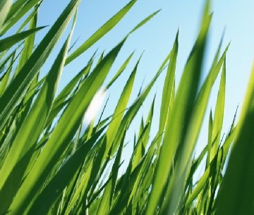 Grass blades with sky above