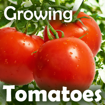 Picture of tomatoes on the vine with text - Growing Tomatoes