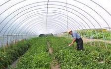 high tunnel_ greenhouse_ vegetable_ crop