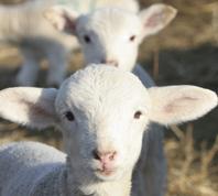 lamb livestock animal