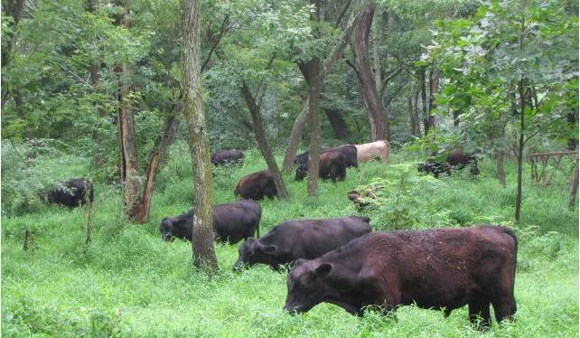 cow, cattle, forest, woods, agroforestry