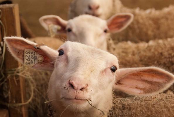 sheep, livestock