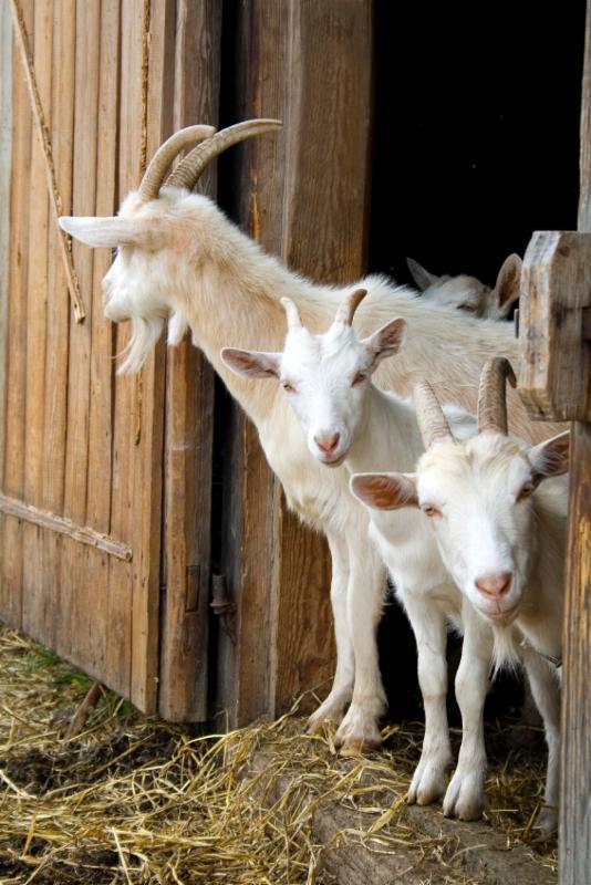 Goat Livestock Barn