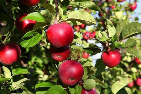 apple, produce