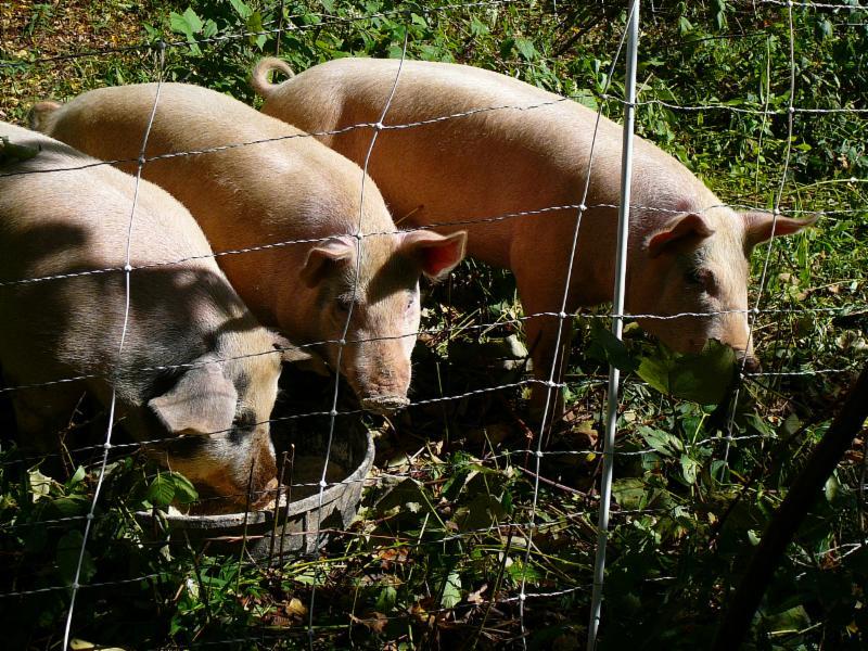 livestock pig