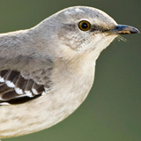 northern_mockingbird