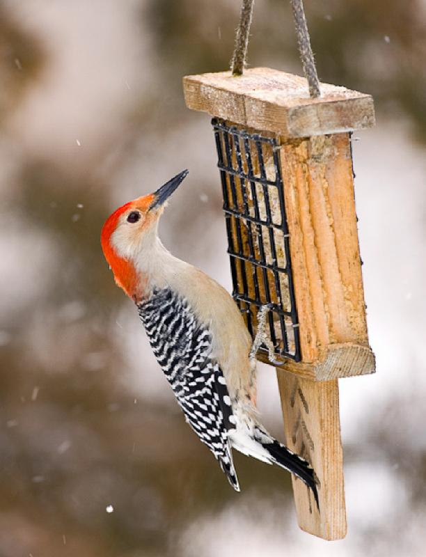 red-bellied_woodpecker_suet_feeder