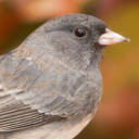 darkeyed_junco