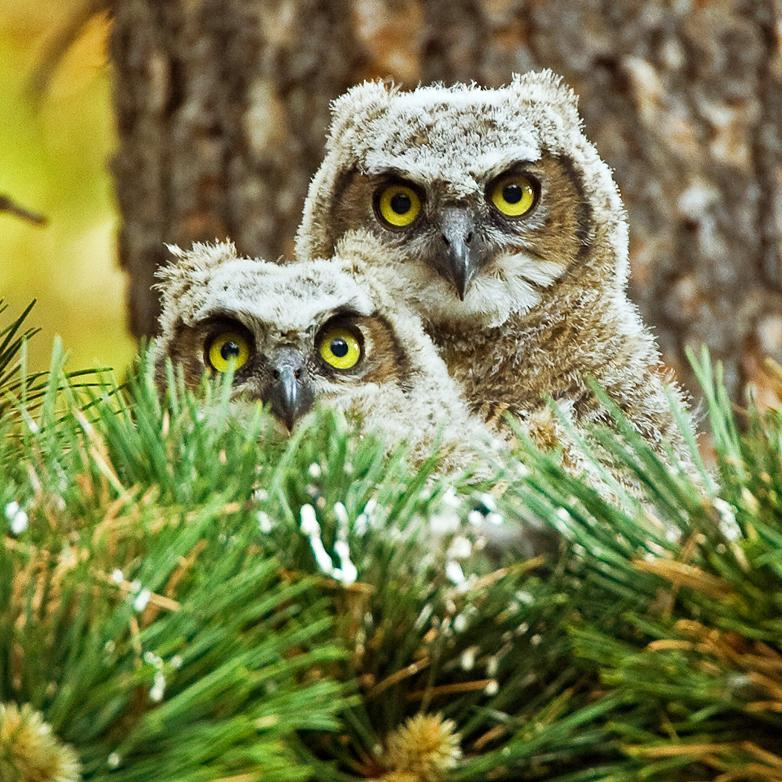 great_horned_owl_chicks