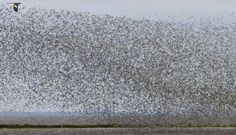 red)knots_video_vyn_cornell