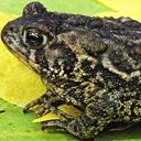 frog_call_chorus
