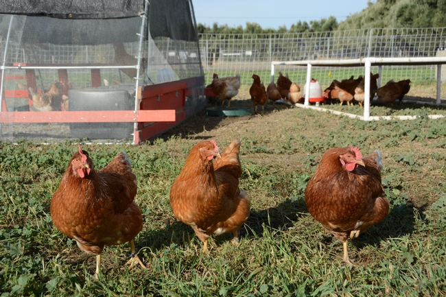 poultry-photo