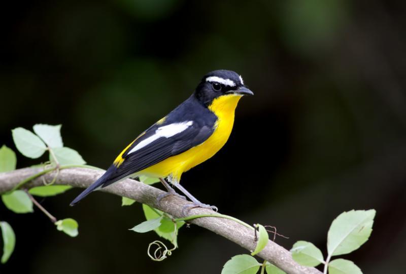 yellow_rumped_flycatcher.jpg