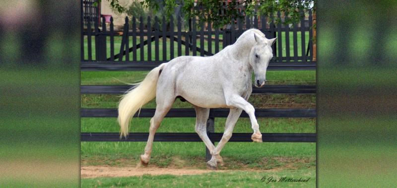 Mannhattan Oldenburg stallion