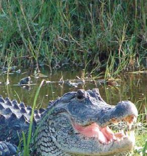 alligator rules