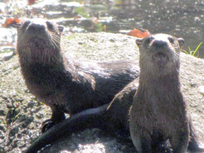 Photo of a pair of otters by Jeff Littleton