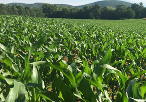 Photo of cornfield by Stacy Gambrel