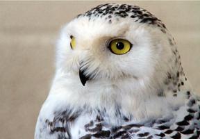 Photo of a snowy owl by Jo Garbutt