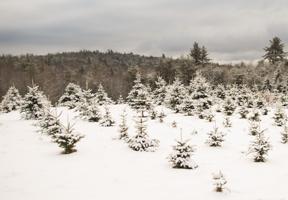Photo of a Christmas tree farm by Emily Hague