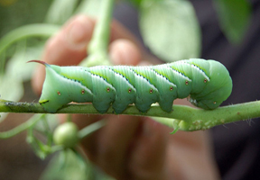 Photo of a hornworm by Jay & Melissa Malouin