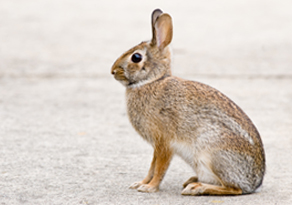 Photo of an Eastern Cottontail rabbit courtesy of UNH Cooperative Extension