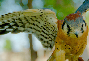 Photo of American kestrel by Josh More