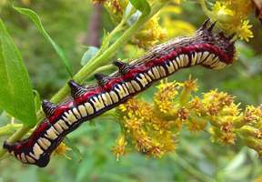 Photo of calico paint caterpillar by Michael Nerrie