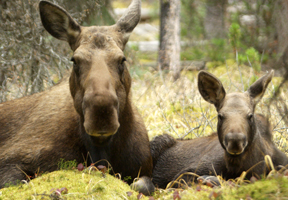 Photo of moose and calf by Twig Eaters Inc.