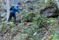 Photo of a hiker in a fern woodland by NH Natural Heritage Bureau