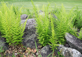 Photo of hay-scented ferns by Emily Hague