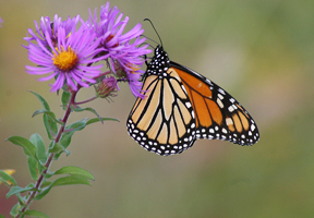 Photo of monarch butterfly by Greg Thompson