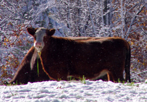 Photo of beefalo by Emily Hague