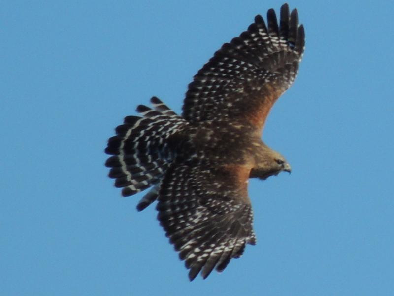 Red Shouldered Hawk on Washington Island