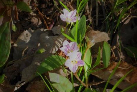 Spring Ephemeral Flowers