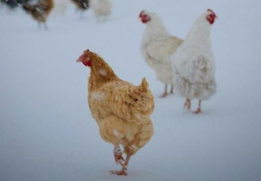 chicken rbr winter