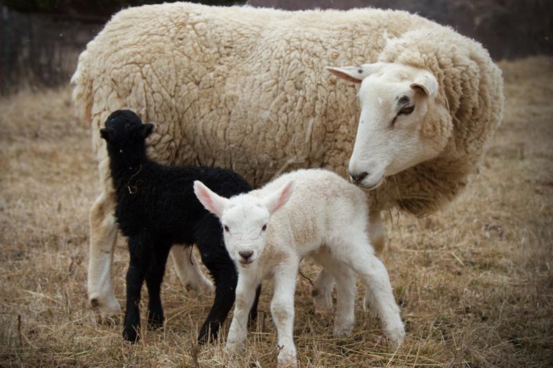RBR Ag Animals sheep