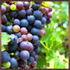 purple-grapes-sm.jpg