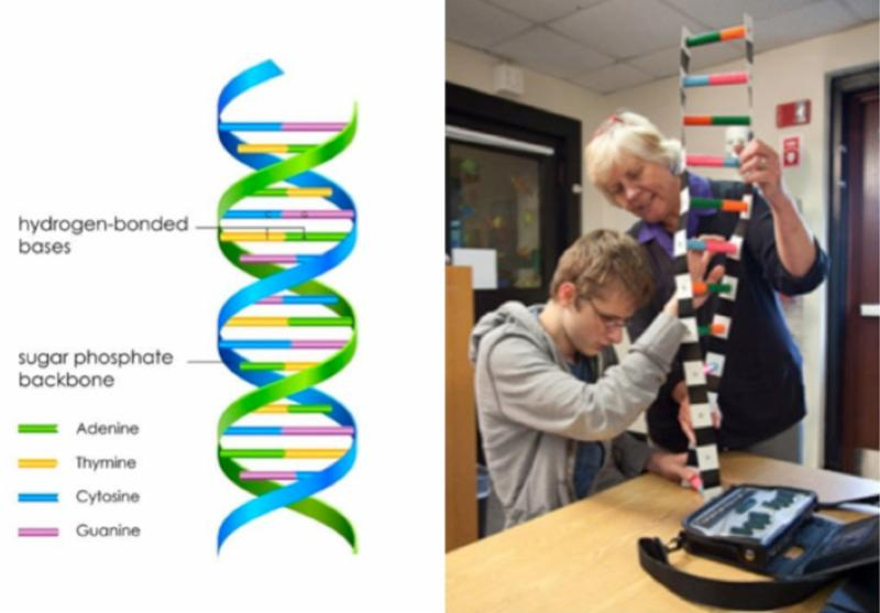 left hand side shows what a DNA image looks like in a text book. A colorful double helix. Right side of the picture shows a student with apparent visual impairment touching a very large physical model of a DNA strand