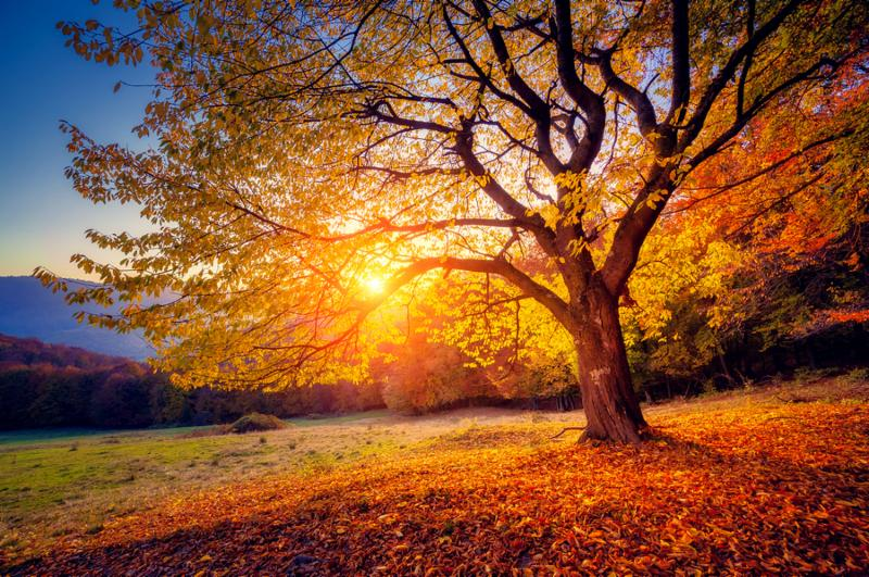 Majestic alone beech tree on a hill slope with sunny beams at mountain valley. Dramatic colorful morning scene. Red and yellow autumn leaves. Carpathians, Ukraine, Europe. Beauty world.