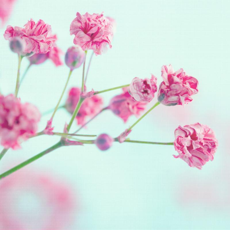 closeup_pink_babys_breath.jpg