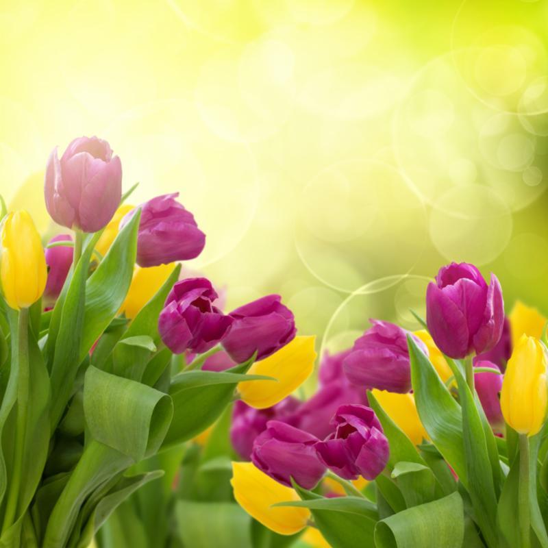 tulips_bokeh_background.jpg