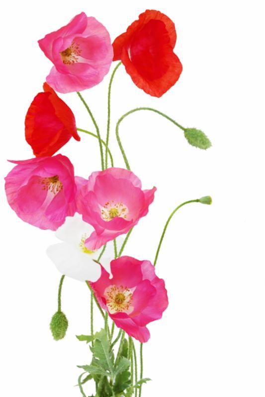 poppy_flower_red.jpg