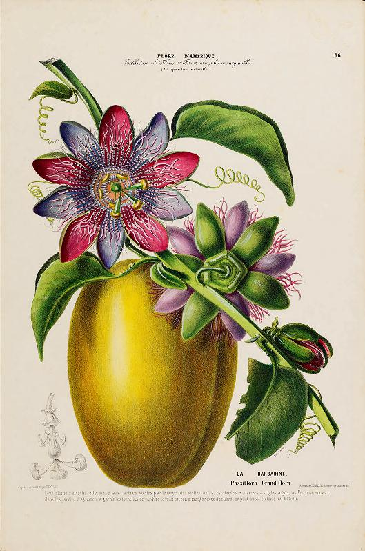 Denisse_ Etienne. Flore d_Amerique. 1843-46. Digitized by the LuEsther T. Mertz Library at The New York Botanical Garden.