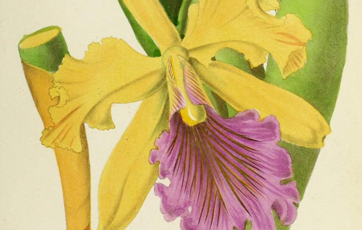 Les orchid_es