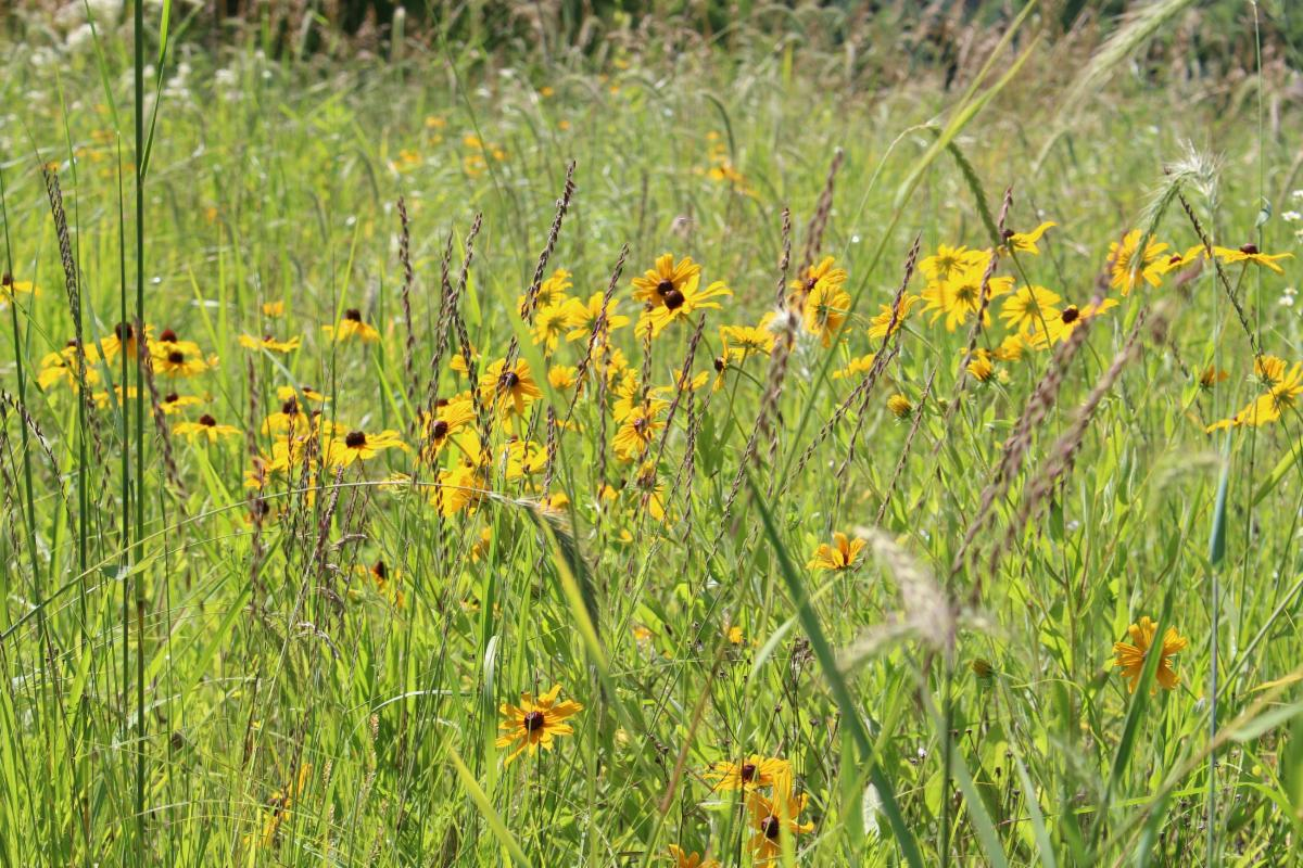Picture of a native MN prairie