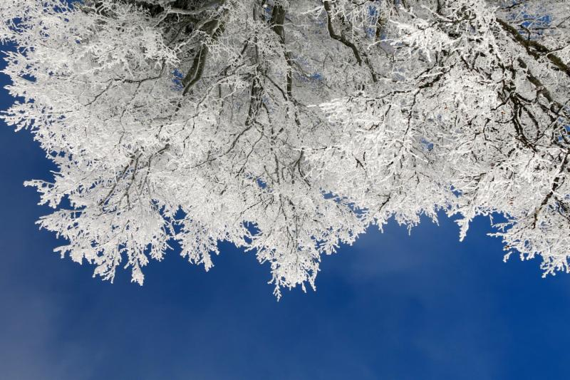 Image looking up at snowy tree branches against a blue sky.