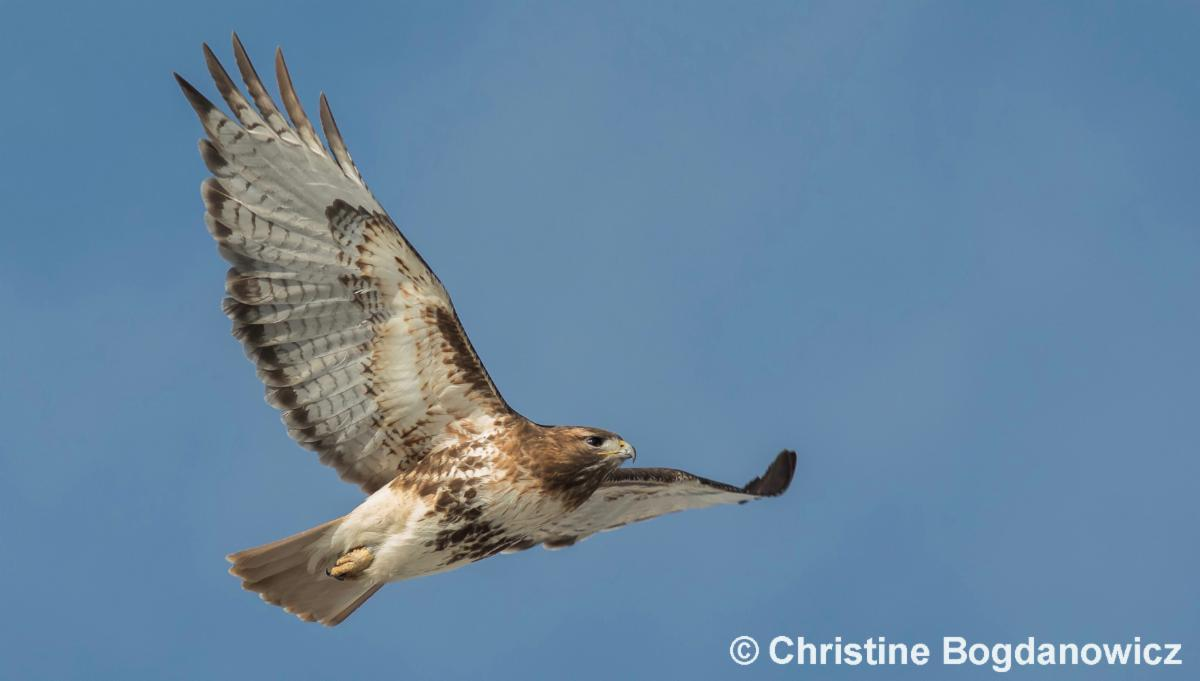 Red-tailed hawk soaring in sky