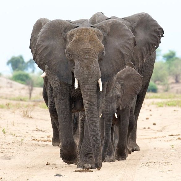 Elephants standing in a line