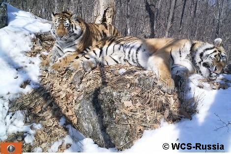 Amur tigers laying in snow