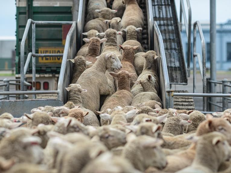 Sheep being transported